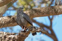 Sperberweihe, Crane hawk, Geranospiza caerulescens