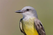 Trauerkönigstyrann (Tyrannus melancholicus); Tropical Kingbird