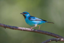 Pitpit (Dacnis cayana) - Blue Dacnis