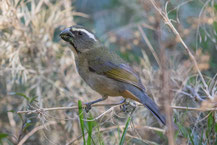 Dickschnabelsaltator (Saltator maxillosus) - Thick-billed Saltator