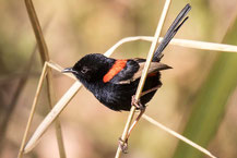 Rotrücken-Staffelschwanz, Red-backed fairywren, Malurus melanocephalus