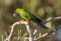 Nandaysittich, nanday parakeet, Aratinga nenday