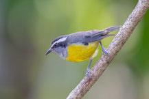 Zuckervogel; Coereba flaveola; Bananaquit