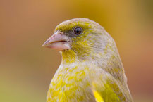 Grünfink; Carduelis chloris; European Greenfinch