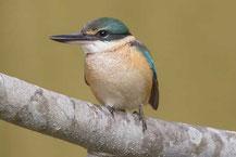 Götzenliest (Todiramphus sanctus) - Sacred kingfisher