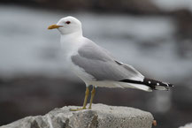 Sturmmöwe (Larus canus) - Common gull