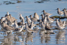 Großer Knutt, Great knot, Calidris tenuirostris