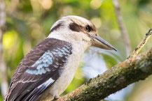 Lachender Hans  (Dacelo novaeguineae) - Laughing Kookaburra