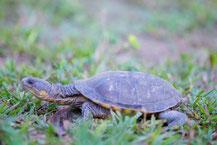 Pantanal-Plattschildkröte