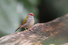 Dornastrild, Red-browed finch, Neochmia temporalis