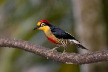 Goldmaskenspecht (Melanerpes flavifrons); Yellow-fronted woodpecker