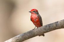 Rubintyrann (Pyrocephalus rubinus); Vermilion Flycatcher