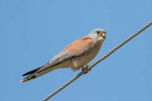 Rötelfalke, Lesser kestrel, Falco naumanni