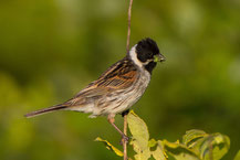 Rohrammer (Emberiza schoeniclus) - Reed Bunting