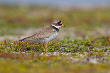 Sandregenpfeifer (Charadrius hiaticula)  - Common ringed plover