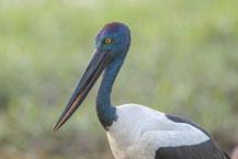 Riesenstorch (Ephippiorhynchus asiaticus) - Black-necked stork (Jabiru)
