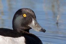 Reiherente,  Aythya fuligula, Tufted Duck
