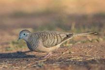 Friedenstäubchen (Geopelia placida) - Peaceful dove
