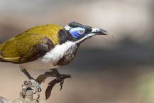 Blauohr-Honigfresser, Blue-faced Honeyeater, Entomyzon cyanotis