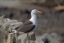 Mantelmöwe (Larus marinus) - Great black-backed gull