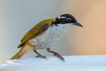 Weißkinn-Honigfresser, White-throated Honeyeater, Melithreptus albogularis
