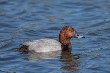 Tafelente, Common Pochard, Aythya ferina