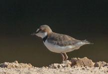 Schlankschnabel-Regenpfeifer (Charadrius collaris) - Collared Plover