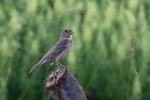 Karmingimpel; Carpodacus erythrinus; Common rosefinch