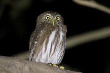 Brasil-Sperlingskauzü, Glaucidium brasilianum, Ferruginous Pygmy-owl