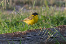 Masken Schafstelze; Motacilla flava feldegg; Black-headed Yellow Wagtail