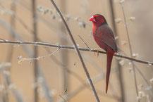Sonnenastrild, Crimson finch, Neochmia phaeton