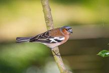 Buchfink; Fringilla coelebs; Common Chaffinch