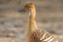 Sichelpfeifgans (Dendrocygna eytoni) - Plumed whistling duck