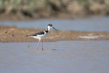 Amerikanischer Stelzenläufer, Black-necked stilt, Himantopus mexicanus