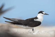 Rußseeschwalbe (Onychoprion fuscatus) - Sooty tern