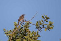 Helmlederkopf, Helmeted Friarbird, Philemon buceroides