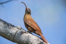 Rotrücken-Sensenschnabel (Campylorhamphus trochilirostris) - Red-billed Scythebill