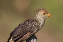 Guirakuckuck; Guira cuckoo; Guira guira