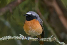 Gartenrotschwanz - Common Redstart