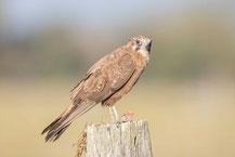 Habichtfalke, Brown falcon, Falco berigora