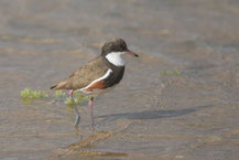 Schwarzbrustregenpfeifer (Erythrogonys cinctus) - Red-kneed dotterel.