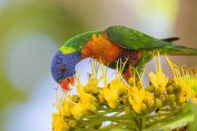 Regenbogenlori, Rainbow lorikeet, Trichoglossus haematodus