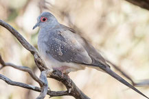 Diamanttäubchen (Geopelia cuneata) - Diamond dove
