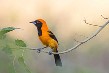 Orangerückentrupial (Icterus croconotus) - Orange-backed Troupial