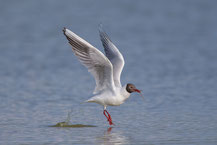 Lachmöwe (Chroicocephalus ridibundus) - Black-headed gull