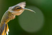 Sägeschnabel-Schattenkolibri (Ramphodon naevius)
