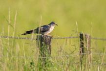 Kuckuck; Cuculus canorus;  Common cuckoo