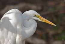 östlicher Silberreiher (Ardea modesta) - Eastern great egret