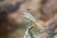 Dreistreifen-Honigfresser, Yellow-faced Honeyeater, Caligavis chrysops