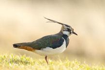 Kiebitz (Vanellus vanellus) - Northern lapwing